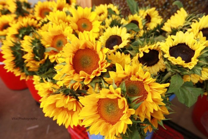 Charming sunflowers in ho thi ky market